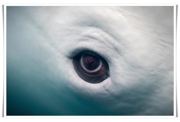 beluga eye